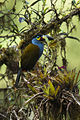 Plate-billed Mountain-Toucan - Ecuador S4E5734 (15786286454).jpg