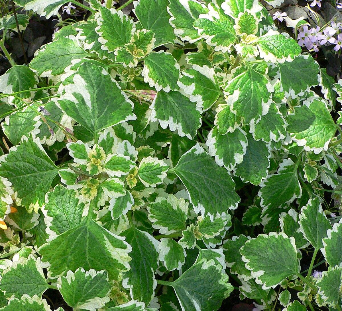 Plectranthus wikipedia la enciclopedia libre Tipos de plantas para jardines verticales