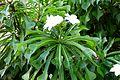 Plumeria pudica P1020589.jpg