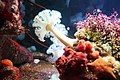 Plumose anemone and other invertebrates at Monterey Bay Aquarium.jpg