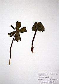 Podophyllum peltatum BW-1979-0430-9994.jpg