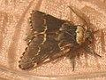 Poecilocampa populi ♂ - December moth (male) - Коконопряд тополёвый (самец) (40298899454).jpg