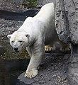Polar Bear (4692423443).jpg