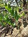 Polygonatum odoratum sl3.jpg