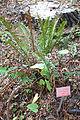 Polystichum munitum - Regional Parks Botanic Garden, Berkeley, CA - DSC04429.JPG