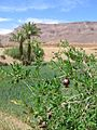 Pomegranate In Draa River Valley Morocco.jpg