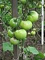 Pomidory.Lycopersicon.jpg