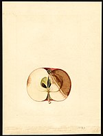 Pomological Watercolor POM00001892.jpg
