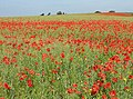 Poppy invasion, Ryton - geograph.org.uk - 1335295.jpg
