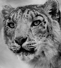 Portrait of a snow leopard at Marwell Zoo.jpg