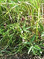 Potentilla palustris 3-eheep (5097356293).jpg