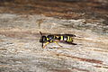 Potter wasp from Central Germany (7099204405).jpg