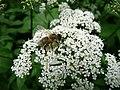Pracowita pszczoła - panoramio.jpg