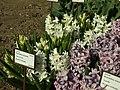 Praha, Troja, Botanická zahrada, Hyacint východní (bílý).JPG