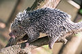 Prehensile Tail Porcupine Scurrying Down a Branch (17956825918).jpg