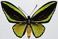 Priam's Birdwing (Ornithoptera priamus poseidon) male (8360921175).jpg