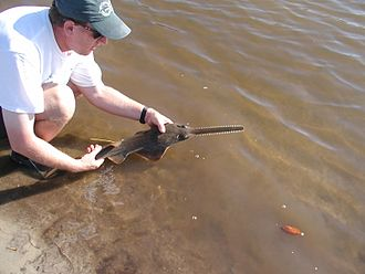 Smalltooth sawfish - A juvenile smalltooth sawfish being released