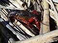Procambarus clarkii-2.jpg