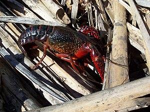 English: Red swamp crayfish Latina: Procambaru...