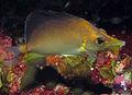 Prognathodes aculeatus NOAA.jpg