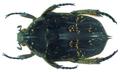 Protaetia (Pseudourbania) pectoralis Mohnike, 1871 (8403071026).png