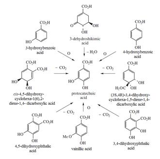 Protocatechuic acid - Protocatechuic acid biosynthesis