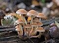 Psathyrella piluliformis, Common Stump Brittlestem.jpg