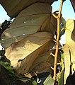 Pterospermum diversifolium 06.JPG