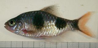 Arulius barb Species of fish