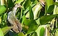 Purple Gallinule (Porphyrio martinica) immature.jpg
