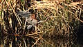 Purple Heron, Ardea purpurea, at Waterfall Estate, Gauteng, South Africa (35263708004).jpg