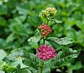 Purple Milkweed Asclepias purpurascens Flower Heads Wide 2300px.jpg