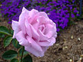 Purple Rose1.jpg