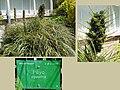 Puya alpestris 3.jpg