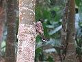Pycnonotus aurigaster (27320457098).jpg