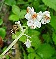 Pyrola rotundifolia in Slovenia (16099812740).jpg