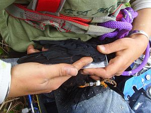 Wing chord (biology) - Wing chord measure on a red-billed chough juvenile during ringing.