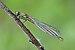 Pyrrhosoma nymphula qtl4.jpg
