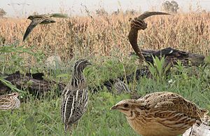 Common quail - Image: Quail from the Crossley ID Guide Britain and Ireland