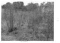 Queensland State Archives 4496 Groundsel infestation c 1950.png