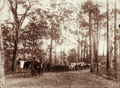 Queensland State Archives 5193 Bullock teams with pine logs on range at Crohamhurst 1894.png
