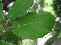 Quercus ilex leaves 01 by Line1.jpg