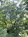 Quercus marilandica - Botanischer Garten, Frankfurt am Main - DSC02550.JPG