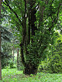 Quercus robur 'Fastigiata' Syrets1.JPG