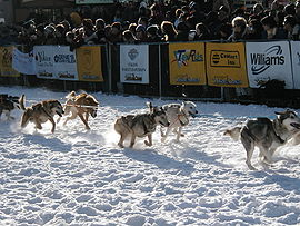 A string of harnessed dogs runs from left to right as spectators watch behind a placard-laden barricade.