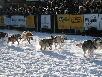 Yukon Quest - Dogs race ahead at the start of the 2003 Yukon Quest in Whitehorse.