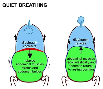 Breathing - Image: Quiet breathing