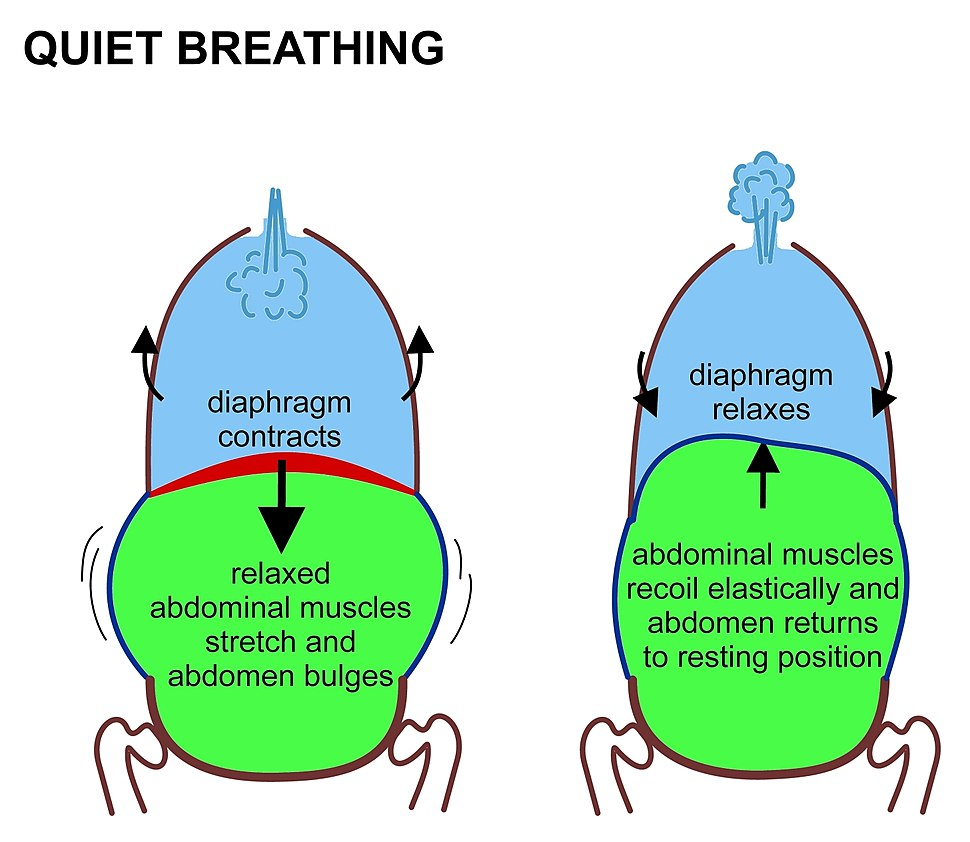 Inhalation Exhalation Diagram Of Diaphragm Breathing Howling Pixel The Muscles At Rest On Left Right Contracting Are Shown In Red Relaxed Blue