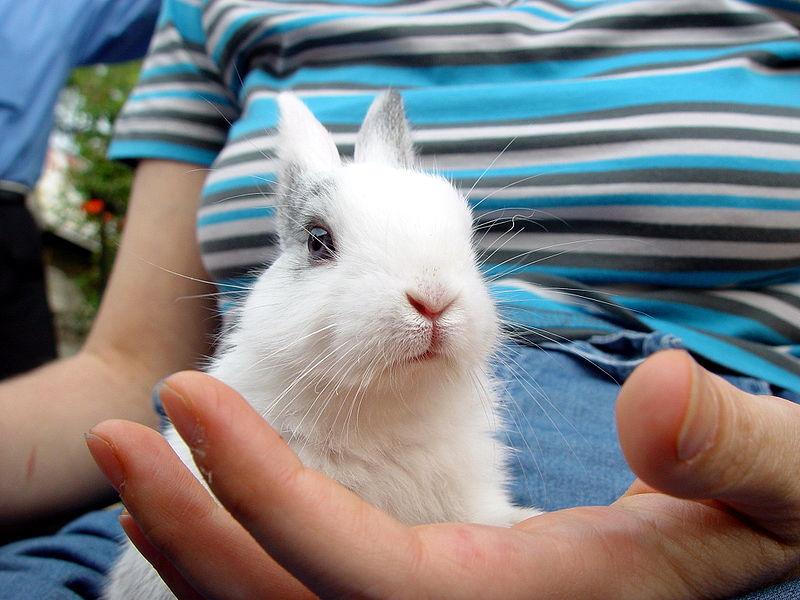 Tout petit lapin blanc à oreilles courtes comparé à une main