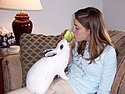Rabbit (named Mopsy) sharing an apple with his owner